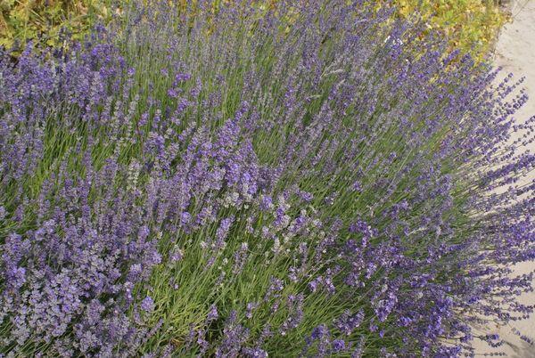 Beim Anblick kann man den Lavendel praktisch schon riechen