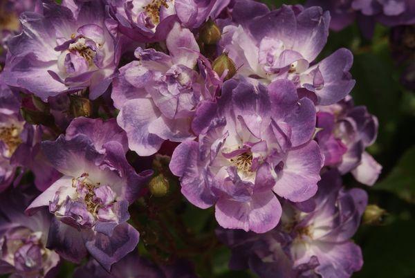 Blütenpracht in Violett